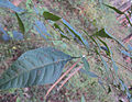 Little Praying Mantises on the leaves of Chukrasia tabularis 5.jpg