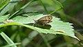Little Wood Satyr (Megisto cymela) - Mississauga, Ontario 01.jpg
