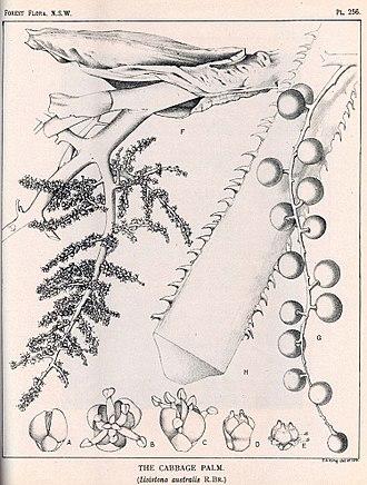 Livistona australis - Image: Livistona australis 00