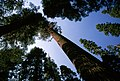 Lodgepole Pine Stand, Rogue River-Siskiyou National Forest (37110547885).jpg