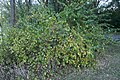 Lonicera Morrowii - Morrow's Honeysuckle 1.jpg