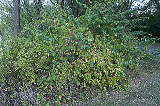 Lonicera morrowii - A Morrow's honeysuckle in Ohio