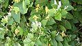 Lonicera japonica 1.jpg