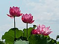 Lotus Flowers Asadazikouren ハス 朝田寺紅蓮 (220495295).jpeg
