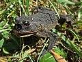 Lucilia bufonivora (Calliphoridae) - (larva), Elst (Gld), the Netherlands.jpg