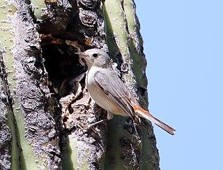 Lucys warbler species of bird