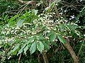 Lyonia ovalifolia1.jpg