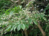 Lyonia ovalifolia1