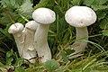 Lyophyllum connatum - Lindsey 1a.jpg