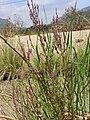 Lythrum salicaria var. tomentosum Habitus 2010-8-15 RioMontoro SierraMadrona.jpg