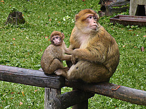 Barbary macaque - Female Barbary macaque with young