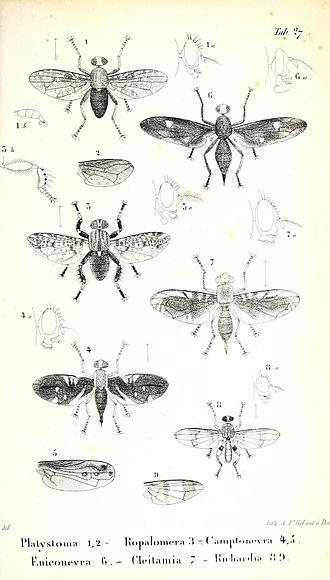 Richardiidae - figures 8, 9