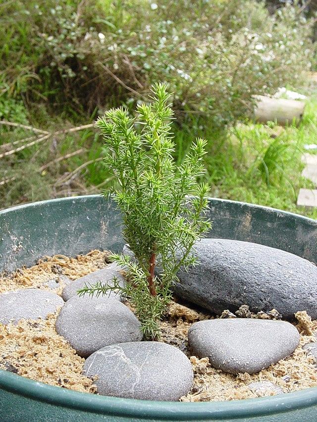 plantation de cyprès de lambert