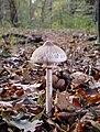 Macrolepiota mastoidea 3.jpg