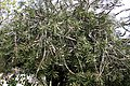Madeira, Palheiro Gardens - Callistemon rigidus (Zylinderputzer) IMG 2223.JPG