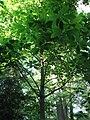 MagnoliaMacrophylla.jpg