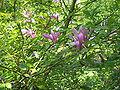 Magnolia liliiflora01.jpg