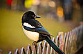 Magpie on a Fence in London.jpg