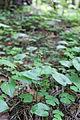 Maianthemum bifolium 01.JPG