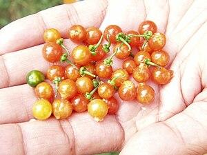 """Solanum nigrum - Ripe berries of the """"Red Makoi"""" variety of S. nigrum are edible"""