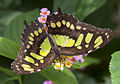 Malacite Butterfly (5662428597).jpg