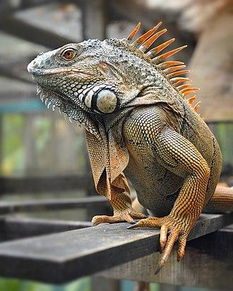 Iguana - Male Green Iguana