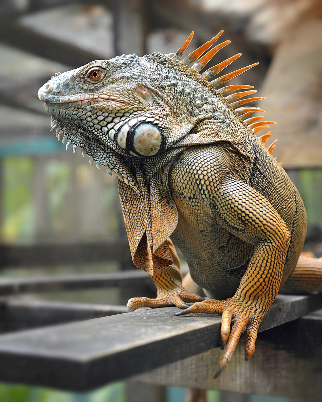 Male Green Iguana Belize