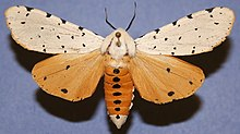 Male Salt Marsh Moth, Megan McCarty112.jpg
