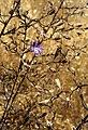 Malesherbia linearifolia.jpg