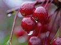 Malus sieboldii, fruit 10.jpg