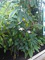 Malvales - Hibiscus aff. genevii - kew 2.jpg