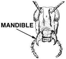 тараканы ротовой аппарат