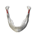 Mandibular notch - close-up - superior view3.png