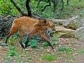 Maned Wolf (Chrysocyon brachyurus) (7128638533).jpg