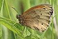 Maniola jurtina, Meadow Brown, Trawscoed, North Wales, June 2017 (35376469371).jpg
