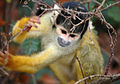 Mape s - Squirrel monkey (by).jpg