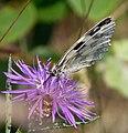 Marbled White. Melanargia galathea - Flickr - gailhampshire (3).jpg