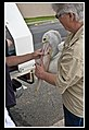 Margate Pelican Rescue- Removing Hook-2 (6807966814).jpg