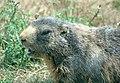 Marmota marmota head (aka).jpg