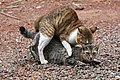 Mating Cats (Domestic cats) in Kannur.jpg