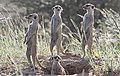 Meerkat (or suricate), Suricata suricatta, at Kgalagadi Transfrontier Park, Northern Cape, South Africa (35199206731).jpg