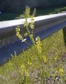 Melilotus officinalis in Nahahum Canyon Chelan County Washington 1.png