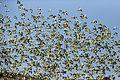 Melopsittacus undulatus flock 0.jpg