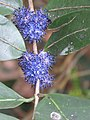 Memecylon umbellatum flowers at Peravoor (4).jpg
