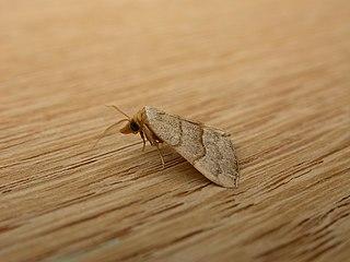 <i>Meranda</i> Genus of moths