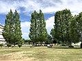 Metasequoia avenue in Yomei Primary School.jpg