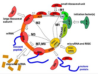 MicroRNA - Image: Mi RNA mechanisms