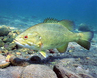 Smallmouth bass - Lighter colored variety holding on typical sandy bottom habitat.