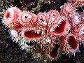 Microstoma floccosum (Schwein.) Raitv 233349.jpg