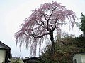Miharu Cherry Tree Of Jyorakuin 1.JPG